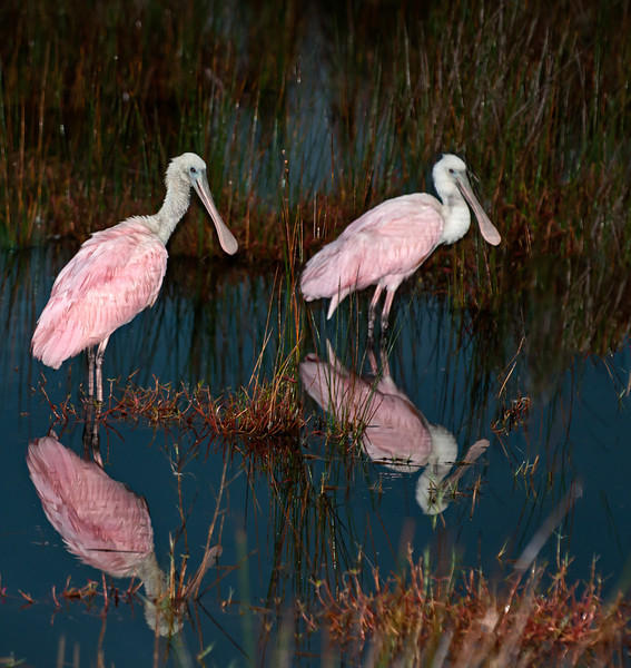 • Location - Black Point Road<br /> • Pair of Roseate Spoonbill