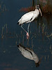 • Location - Black Point Road<br /> • Wood Stork - Who is that in the water?