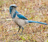 • Location - Entrance to Playalinda Beach<br /> • Scrub Jay - I see you over there!