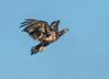 • Location - Canoe Creek Road in Keaninville<br /> • Eaglet In Flight