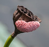 • Location - Wild Florida off of Cypress Creek Road<br /> • Dead Lotus Bud With Snail Eggs