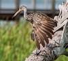 • Location - Wild Florida off of Cypress Creek Road<br /> • Limpkin With Its Wing Stretched out