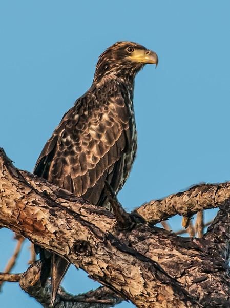 • Location - Canoe Creek Road in Keaninville<br /> • Eaglet
