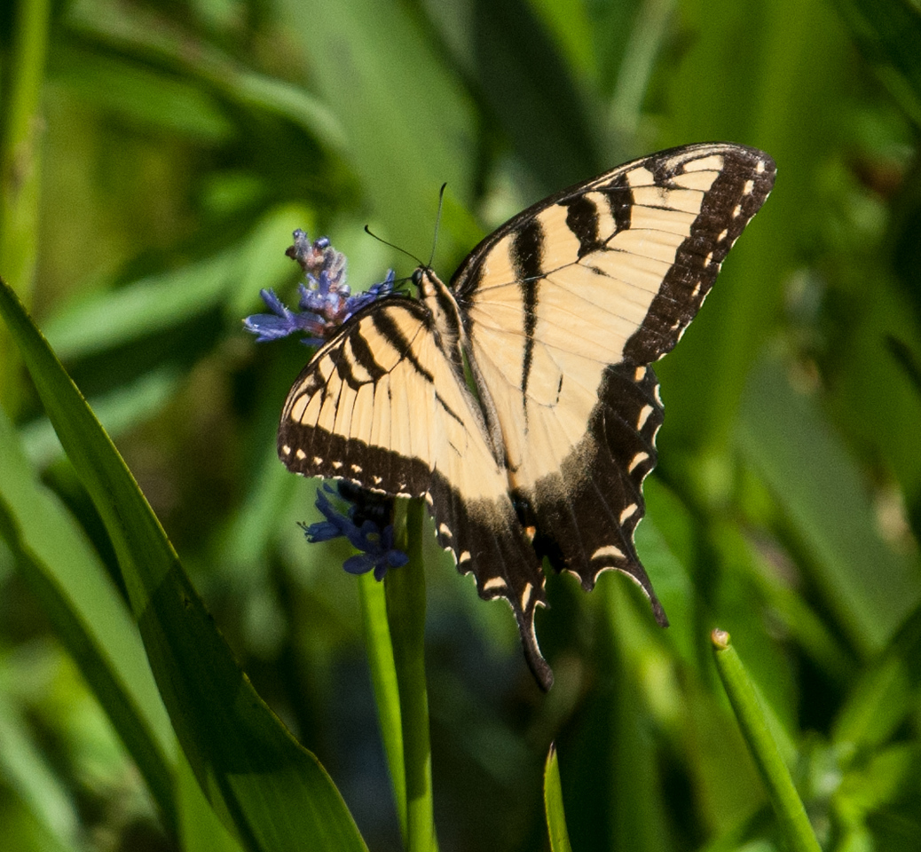 • Location - Wild Florida off of Cypress Creek Road<br /> • Eastern Tiger Swallowtail Butterfly