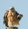 • Location - Joe Overstreet Rd<br /> • Red-shouldered Hawk ruffling its wings