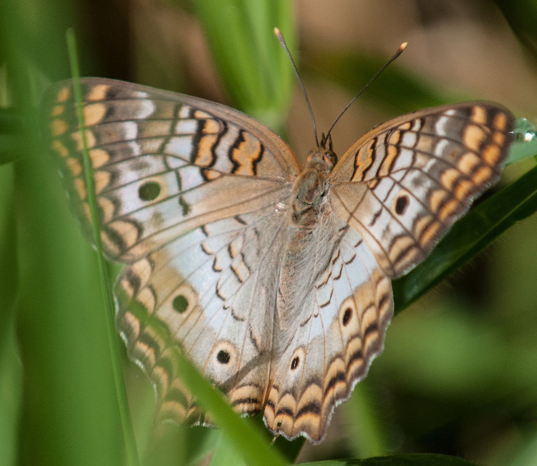 • Location - Wild Florida off of Cypress Creek Road<br /> • White Peacock Butterfly