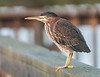 • Location - Lake Manian in Keaninville<br /> • Green Heron