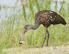 • Location - Wild Florida off of Cypress Creek Road<br /> • A Limpkin eating a snail