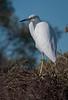 • Paynes Prairie Preserve State Park Lau Chau Trail<br /> • Immature Little Blue Heron