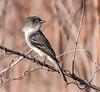 • Paynes Prairie Preserve State Park Lau Chau Trail<br /> • Eastern Phoebe