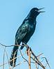 • Paynes Prairie Preserve State Park Lau Chau Trail<br /> • Just a Common Grackle complaining