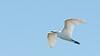 • Paynes Prairie Preserve State Park Lau Chau Trail<br /> • Snowy Egret in flight