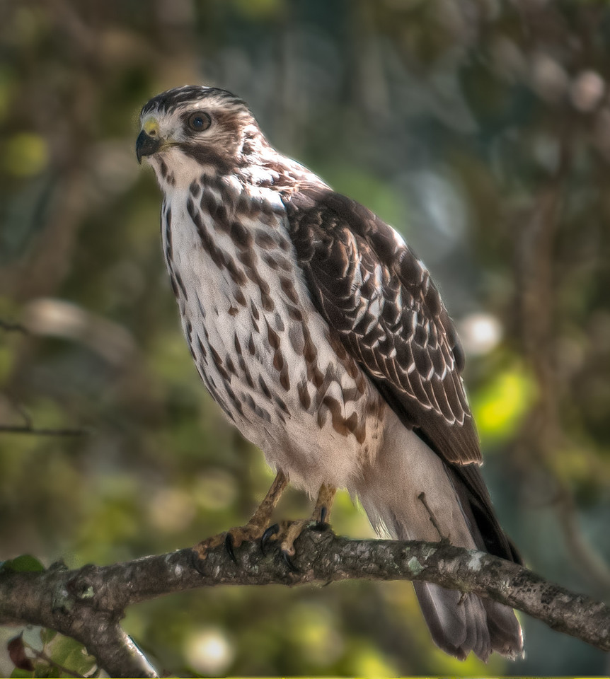 • Road From the Paynes Prairie Preserve's Visitor Center<br /> • Juvenile Broad-winged Hawk