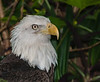 • Location - Flamingo Gardens<br /> • Bald Eagle
