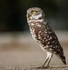 •Location - Brian Piccolo Park<br /> • Burrowing Owl