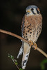 • Location - Flamingo Gardens<br /> • American Kestrel