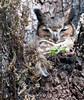 • Location - Long Key Natural Area & Nature Center - Davie, Florida<br /> • Great Horned Owl