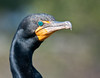• Location - Wakodahatchee Wetlands - Delray Beach, Florida<br /> • Yep, the Double Crested Cormorant let me get close for this photo