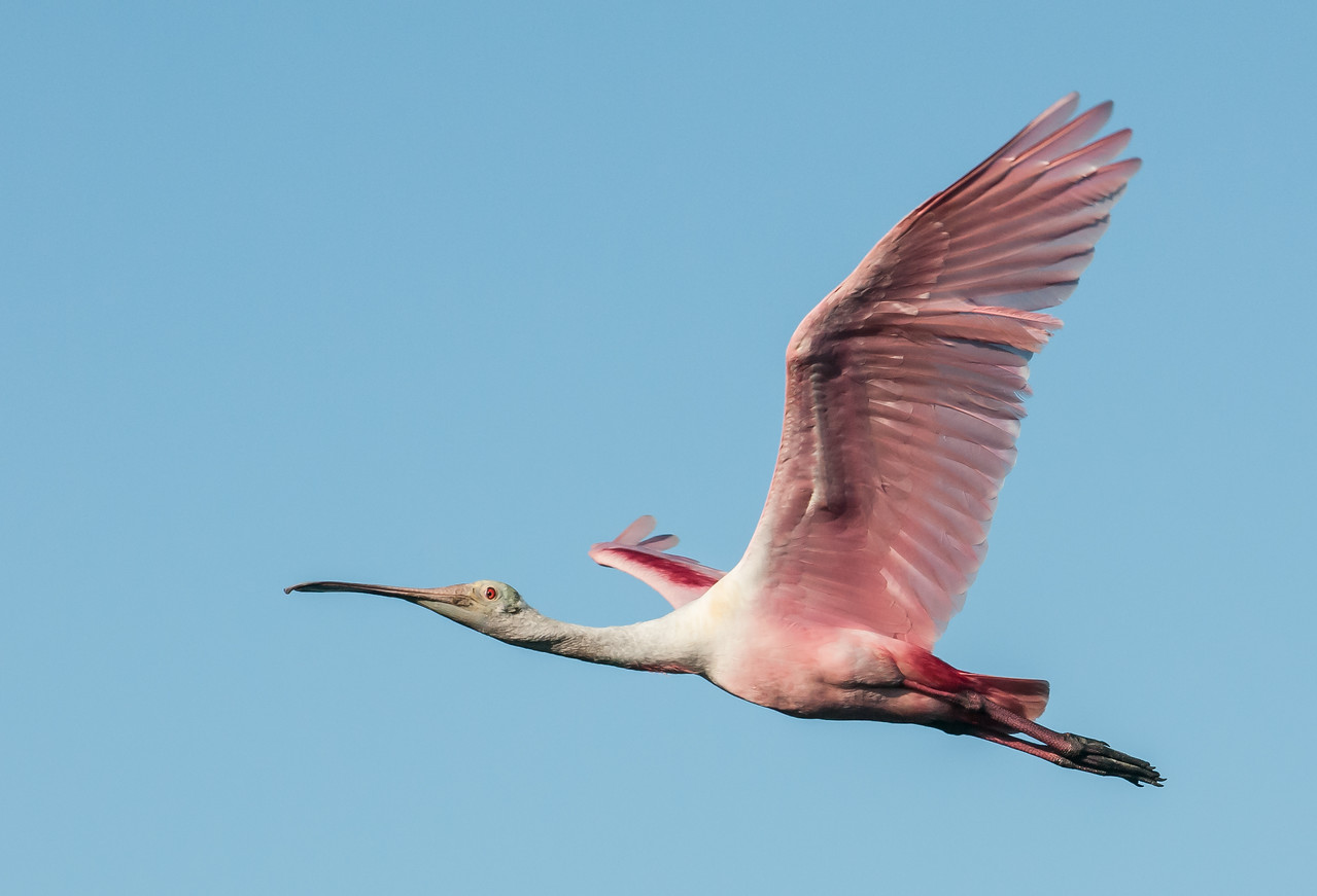 What a beautiful Spoonbill