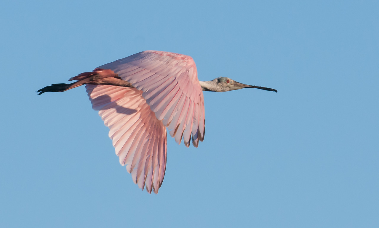 Off the Roseate Spoonbill goes to look for more food for the kids