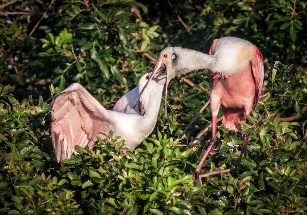 Mom must have a big throat to allow her kid to put its spoonbill down it