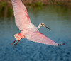 Roseate Spoonbill circling for a safe landing