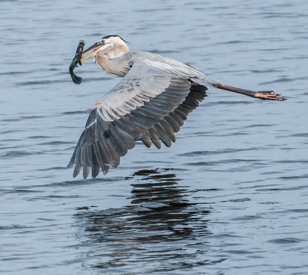 Great Blue Heron in flight with a big fish.