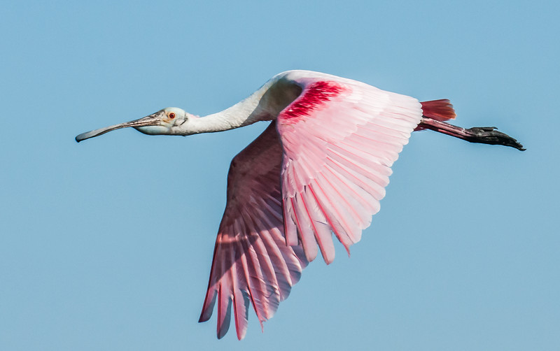 Roseate Spoonbill on the way to get some nesting material