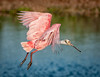 Roseate Spoonbill just taking off