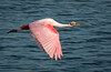 Roseate Spoonbill heading back to get more twigs for its nest