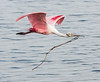 Roseate Spoonbill on the way to the its nest with a twig.