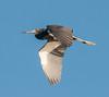 • Location - Stick Marsh<br /> • Tri-colored Heron