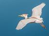 • Location - Stick Marsh<br /> • Cattle Egret