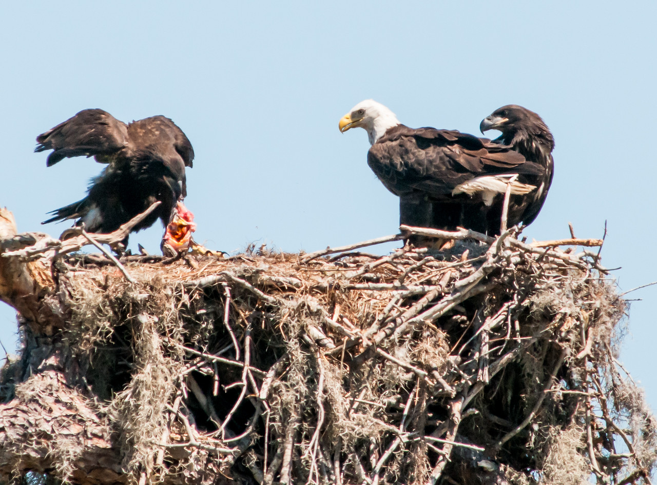 • Location - Canoe Creek Road<br /> • This Eaglet decided she could tear the fish apart itself