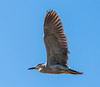 • Location - Stick Marsh<br /> • Black-Crowned Night Heron