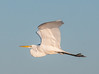 • Location - Stick Marsh<br /> • Great Egret
