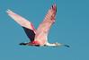 • Location - Stick Marsh<br /> • Roseate Spoonbill