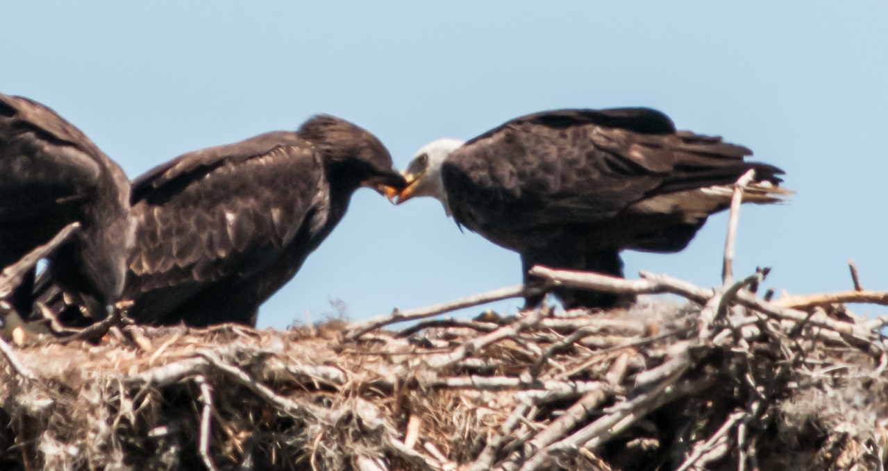 • Location - Canoe Creek Road<br /> • Mom in the process of feeding one of the Eaglets