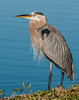 • Location - Stick Marsh<br /> • Great Blue Heron