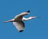 • Location - Stick Marsh<br /> • White Ibis