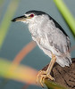 • Dan Click Ponds<br /> • Black-Crowned Night Heron