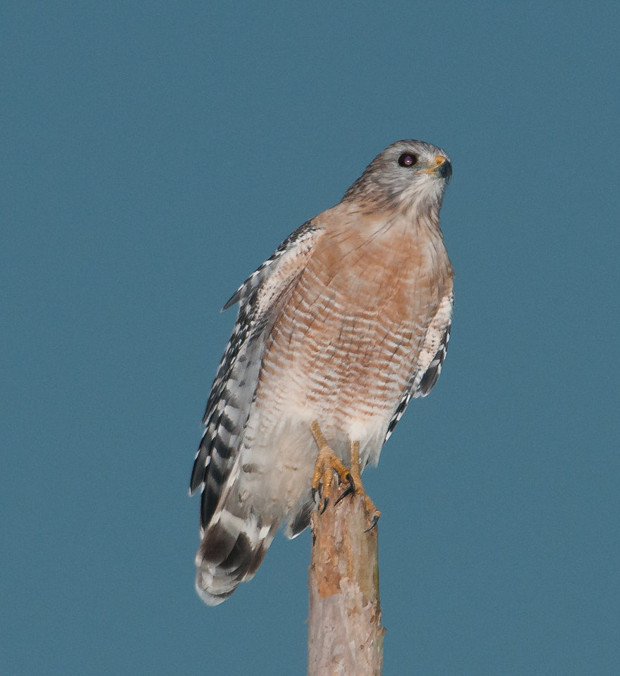 • 50th Street in Wellington<br /> • Red-shouldered Hawk