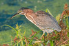 • Dan Click Ponds<br /> • Green Heron