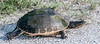 • Moccasin Island Tract<br /> • Common Cooter Turtle crossing the road