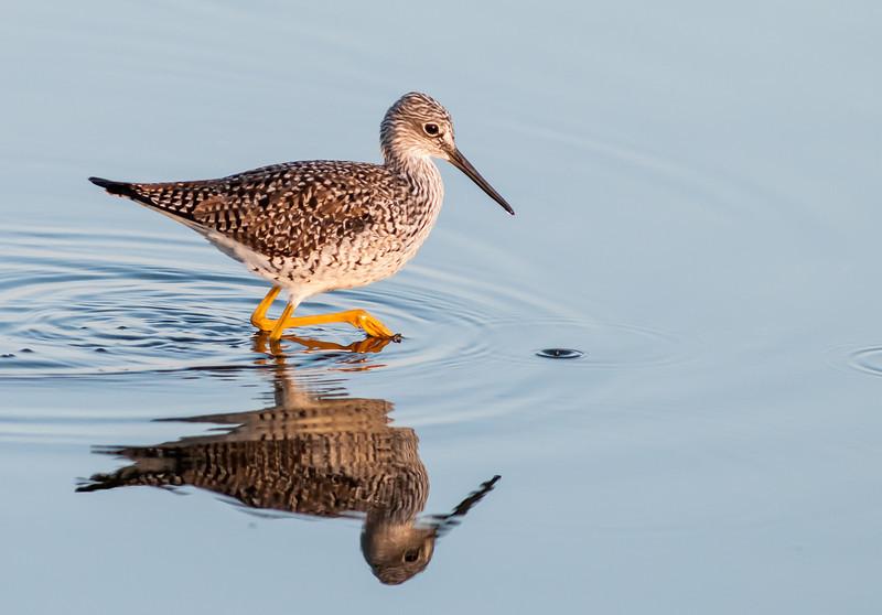 • Location - Merritt Island National Wildlife Refuge, Black Point Drive<br /> • Yellowlegs Lesser on the move