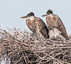 • Location - Viera Wetland<br /> • A pair of juveniles Great Blue Herons waiting for somebody to come back with food