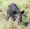 • Location - Merritt Island National Wildlife Refuge, Bio Lab Road<br /> • First time I saw a Wild Pig on Bio Lab Road