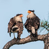 • Location - Viera Wetland<br /> • Female Crested Caracara on the left and the male is on the right