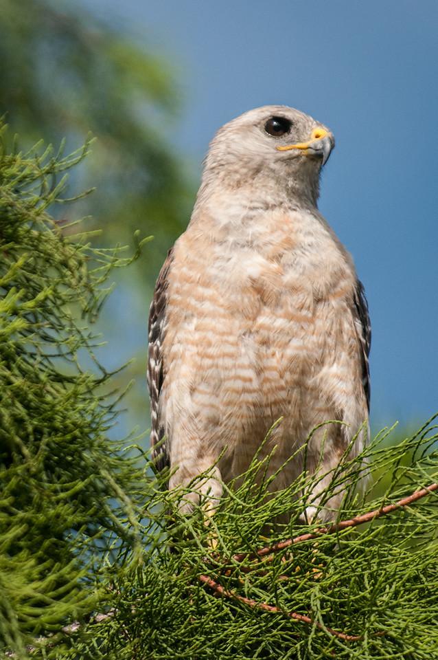• Location - Loxahatchee National Wildlife Refuge<br /> • Red-Shouldered Hawk