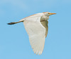• Location - Stick Marsh Indian River County<br /> • Cattle Egret
